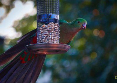 King Parrot - David